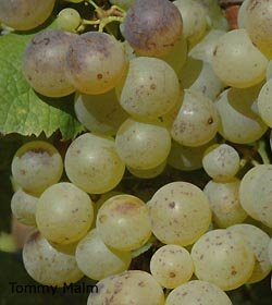Semillon grapes